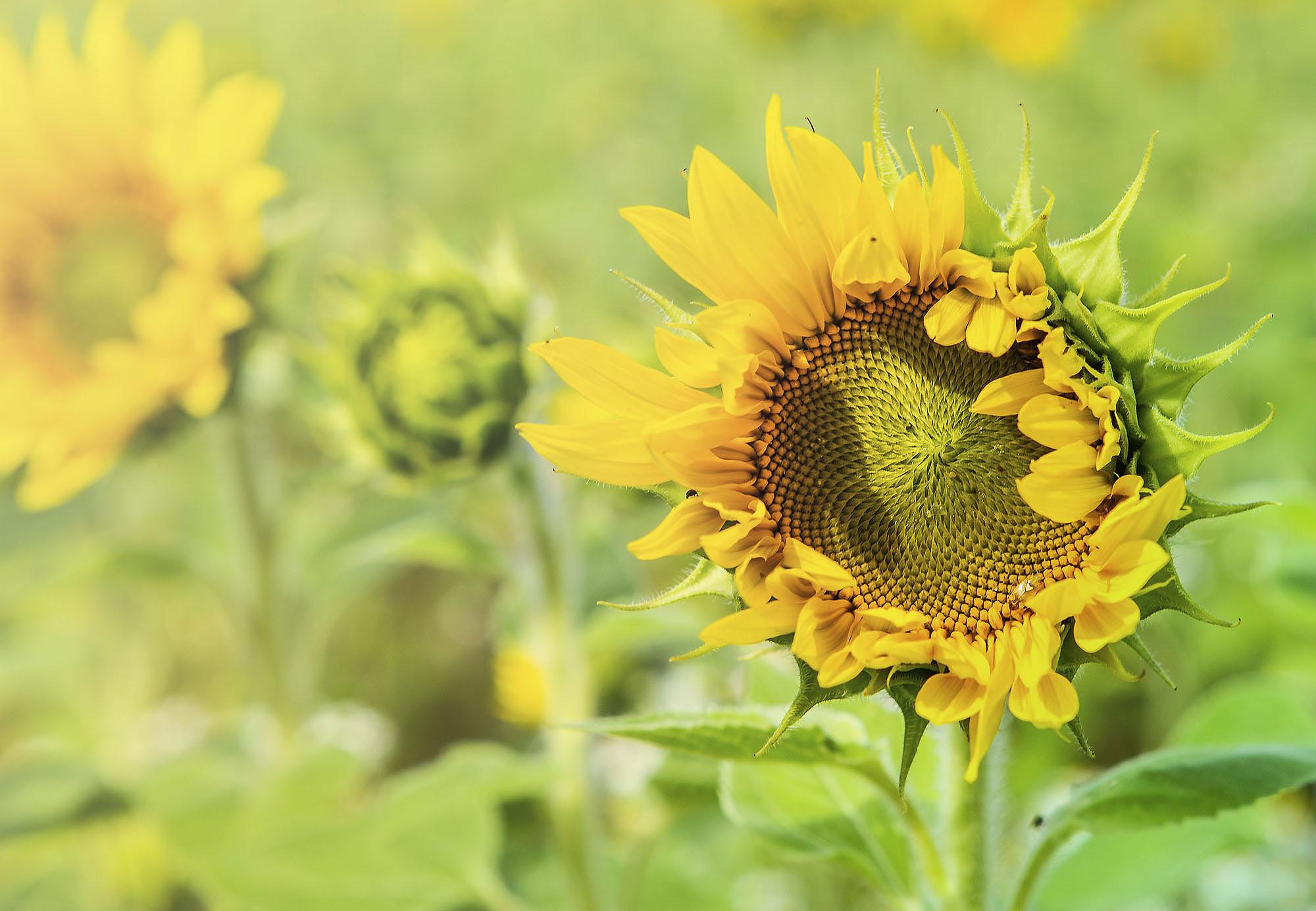 Auringonkukkia pellolla